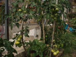entre tomates verdes
