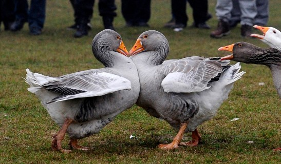 Female geese honk in support as two male geese battle in a geese fight at local soccer field in Shuto Orizari