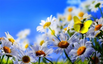 White-daisy-flowers-yellow-butterfly-blue-sky_m