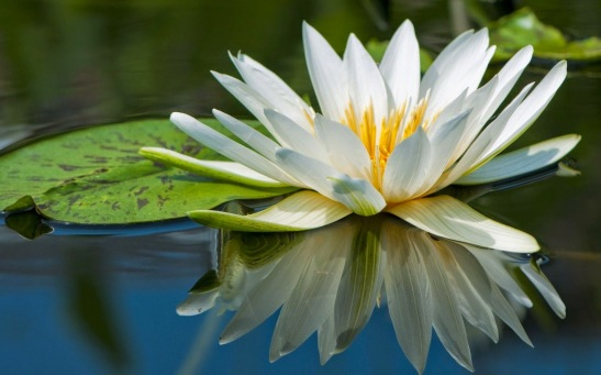 white-water-lilly-16101