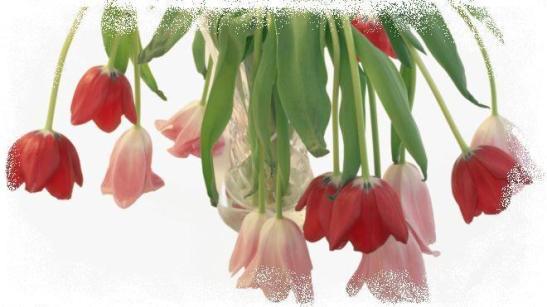 _102460982_tulips