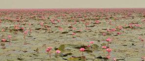 Lotos-Tailandia
