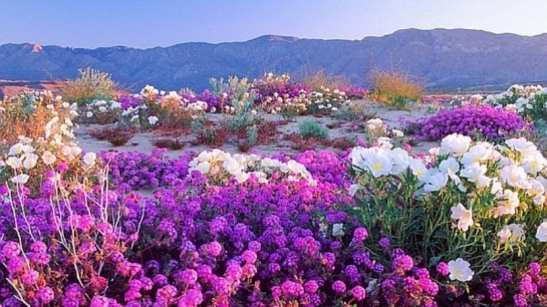desierto-florecido-830x466