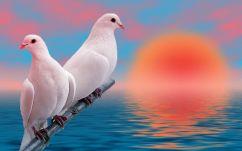 Beautiful-white-love-birds